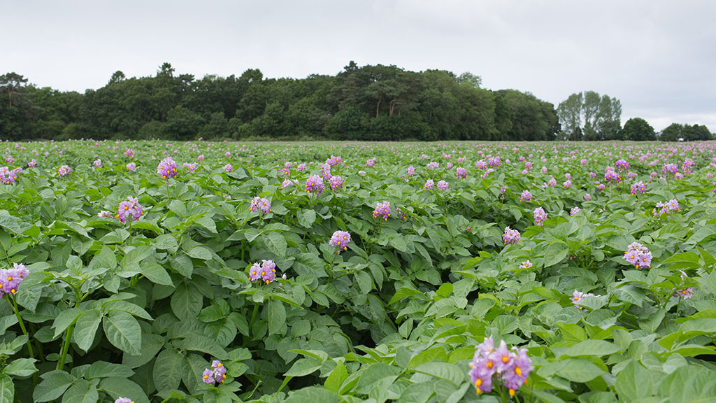 Weighing up the benefits of cover crops in potatoes