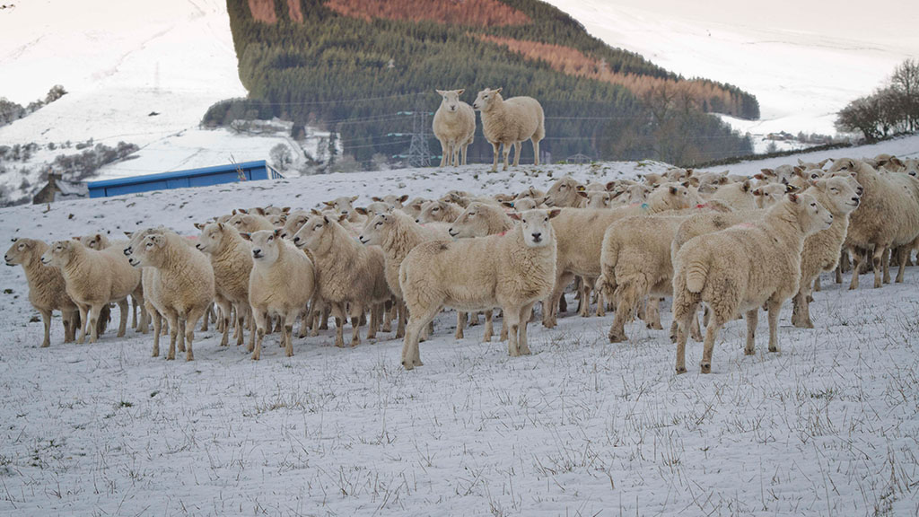 UK farmers left in dismay as heavy snowfall hits during lambing season