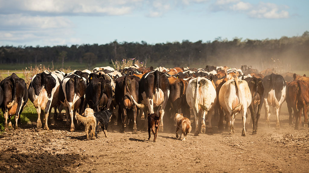 Australia cattle herd to hit 31-year low - calves down 300,000 head