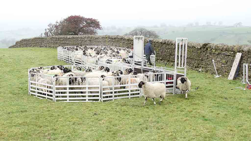 On test: New Alligator Pro 250 sheep handling system put through its paces