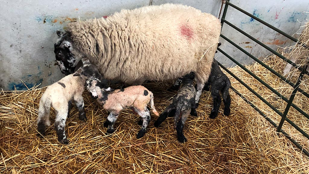Ewe expecting twins has two sets of 'miracle' lambs 24 hours apart