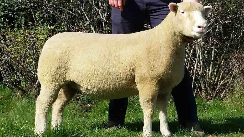 Sale leader, Richhill A- Plus A980, which sold for 2,200gns.