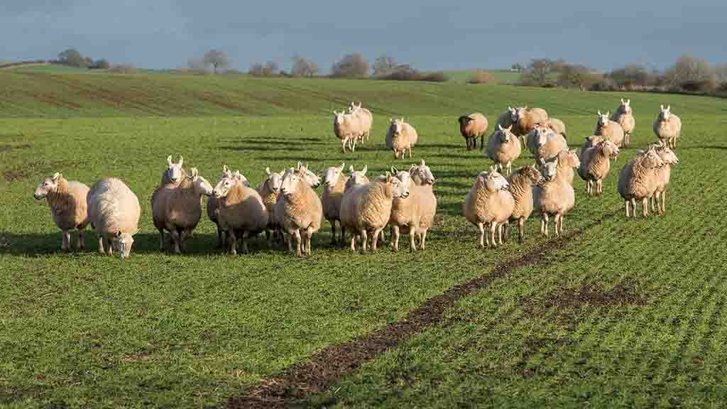 Rustlers stole £2.5m worth of UK livestock in 2018, new figures show