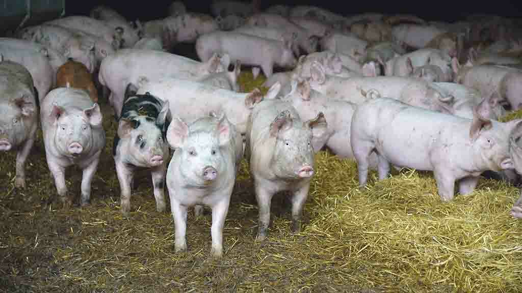 State-of-the-art face recognition technology to detect pigs' emotional state