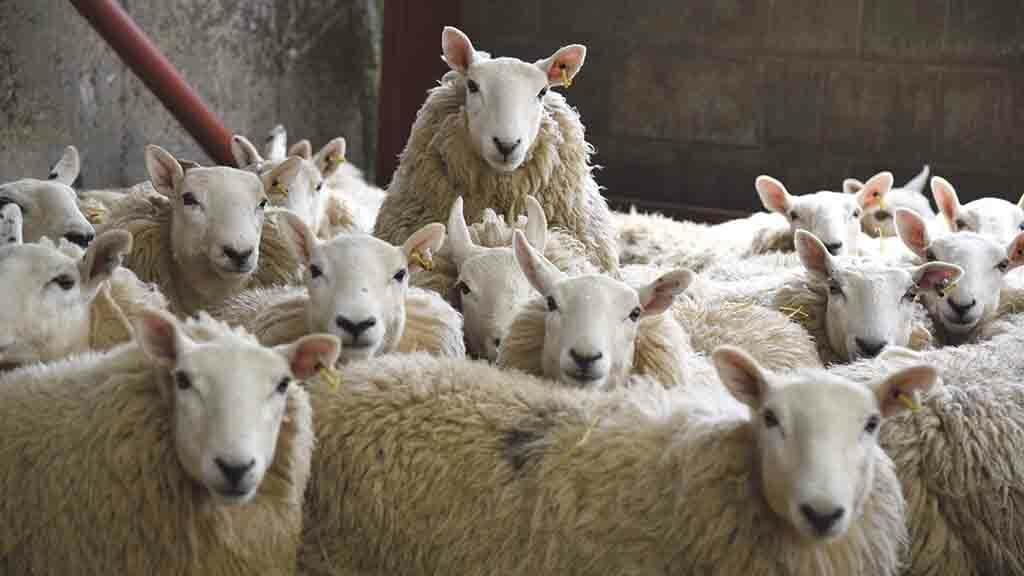 No-deal Brexit plan for breeding ewe headage payments given lukewarm reception