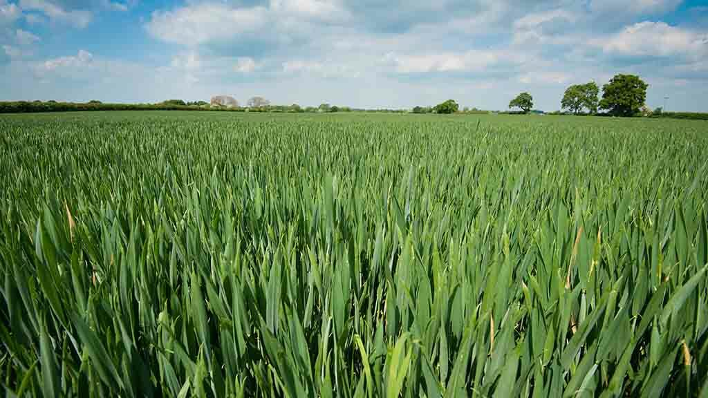 Forgotten disease can cut cereal yields by 30 per cent