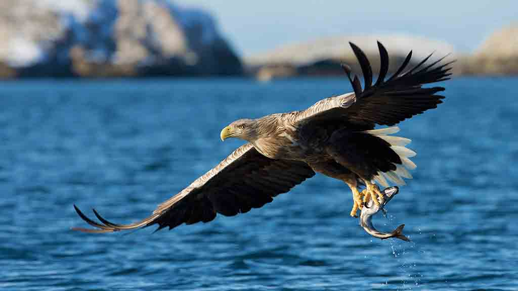 Farmers asked thoughts on sea eagles as fears release could spread to UK
