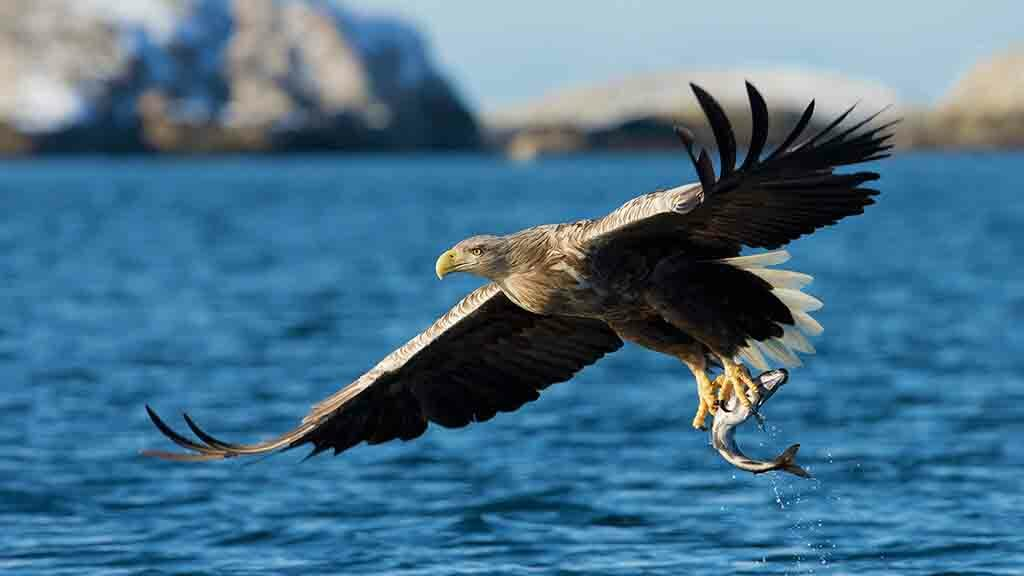 Golden Eagle and newborn lamb killed in Sea Eagle attack on hill flock