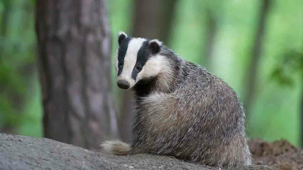 'No evidence vaccinating infected badgers will have any positive TB level effect'