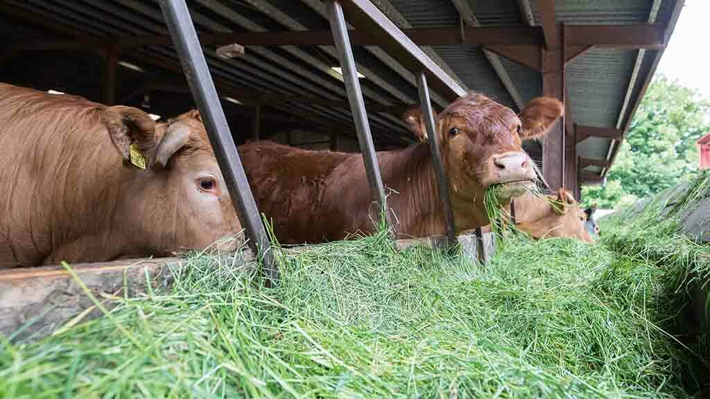 Grass and silage: Why should UK farmers consider using a zero grazing system?