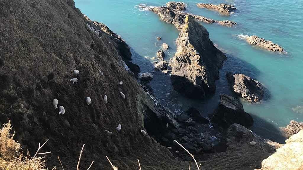 Three-day cliff rescue mission ongoing after sheep 'possibly scared by a dog'