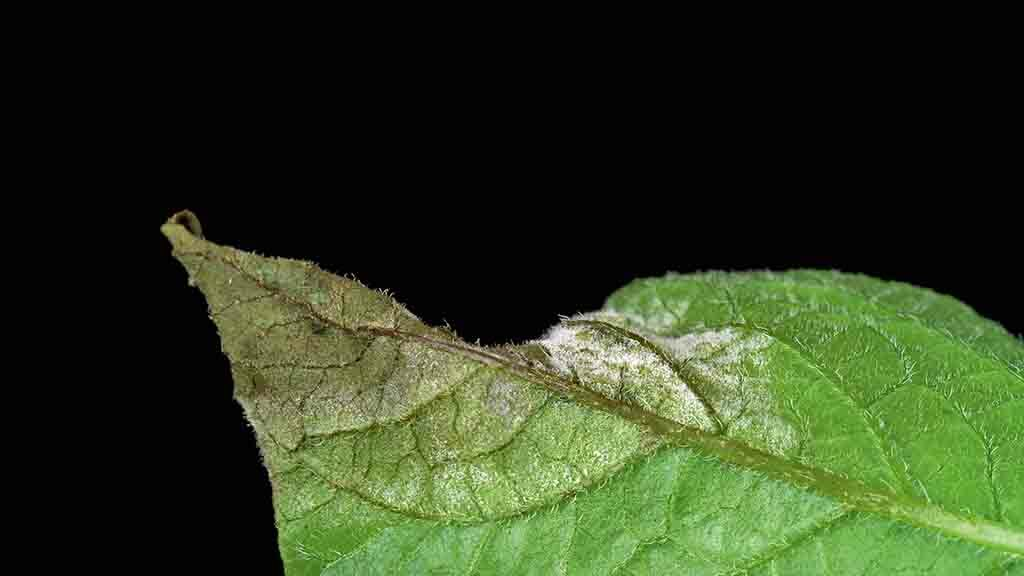 In-season blight strain detection to help inform decisions
