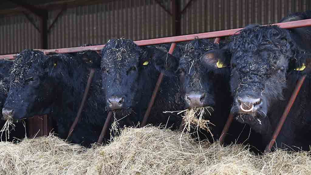 Richard Lewis' Welsh Blacks will be in the Royal Welsh showring this year.