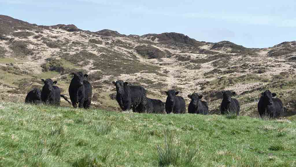 Welsh Blacks are suited to mountainous terrain.
