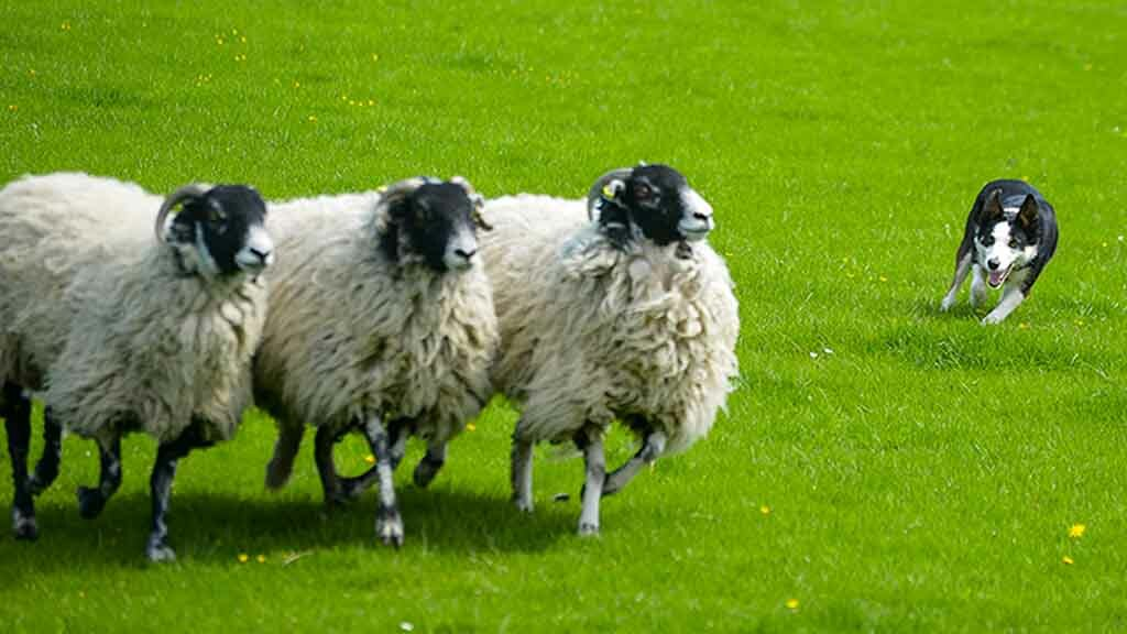Farmer warns others after 'professional' thieves steal sheepdogs to rustle sheep