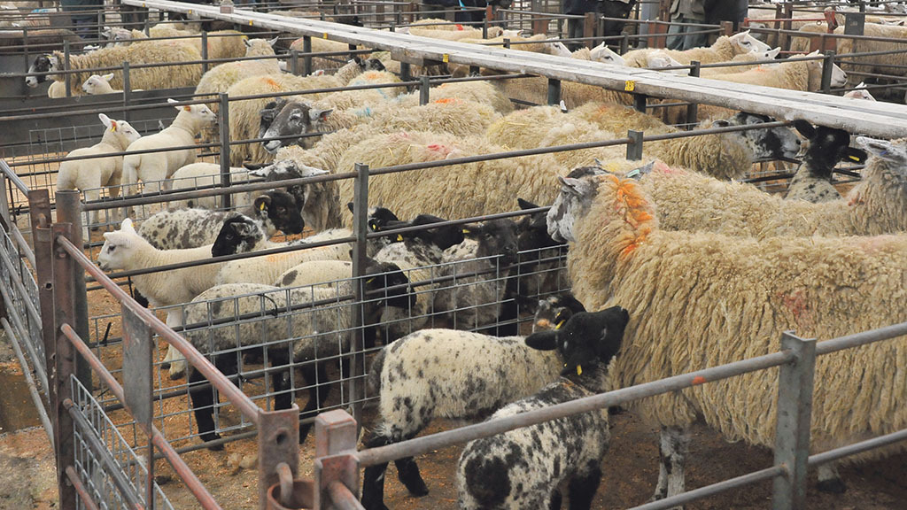 Demand for better quality ewes and lambs on the rise at UK marts