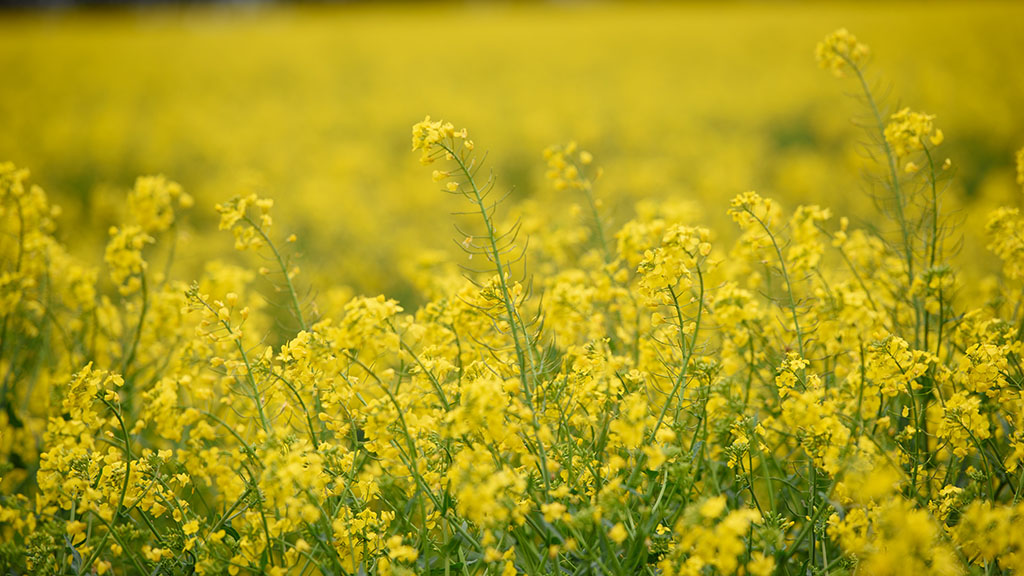 Will frosts knock flowering OSR?