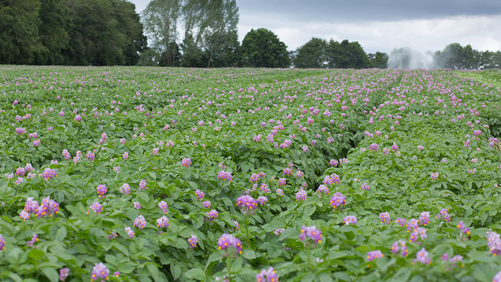 Scottish potato hub to tackle industry challenges