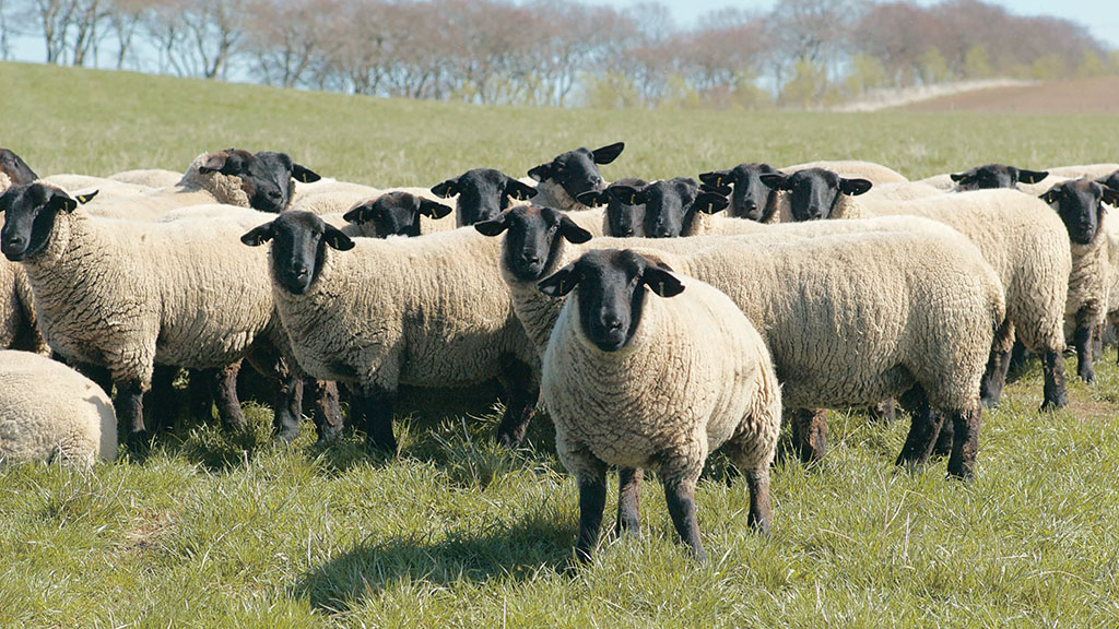 UK farmers facing 25% lamb price drop as continental buyers shun contracts