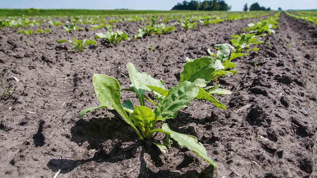 Key beet herbicide withdrawal dates announced