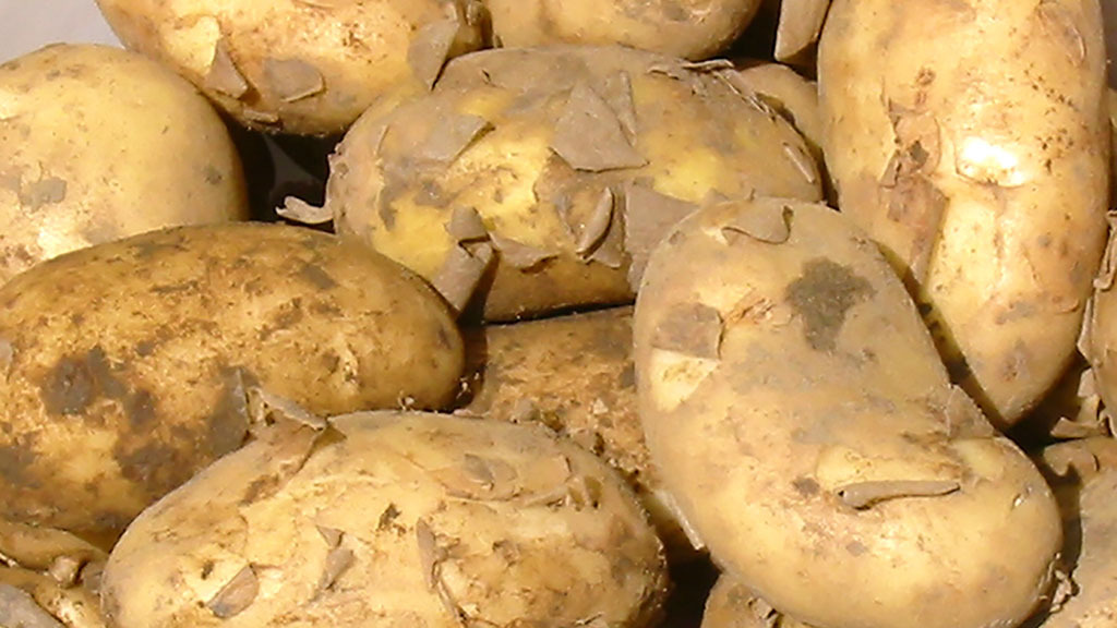 Levy payers vote against AHDB Potato Levy
