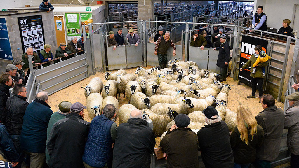 Hogg numbers dropping back at UK auction marts - providing boost for prices