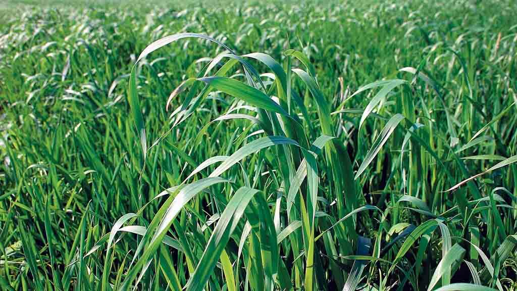 Increased levels of wild oats being seen across the UK this season