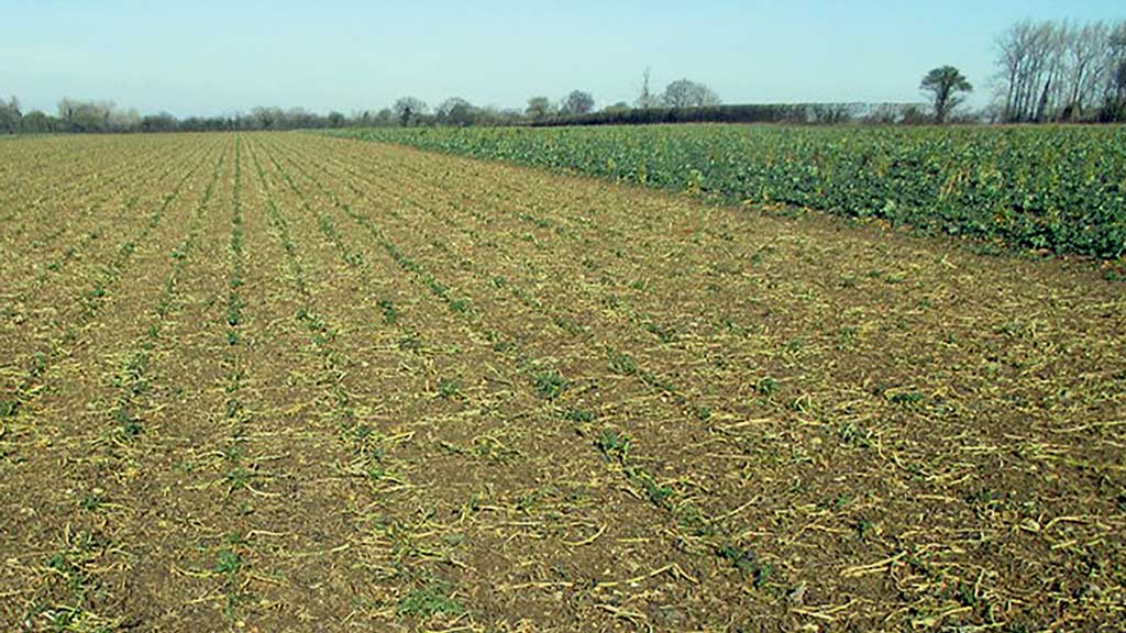 Chris Eglington's grazed OSR crop when pictured on February 17