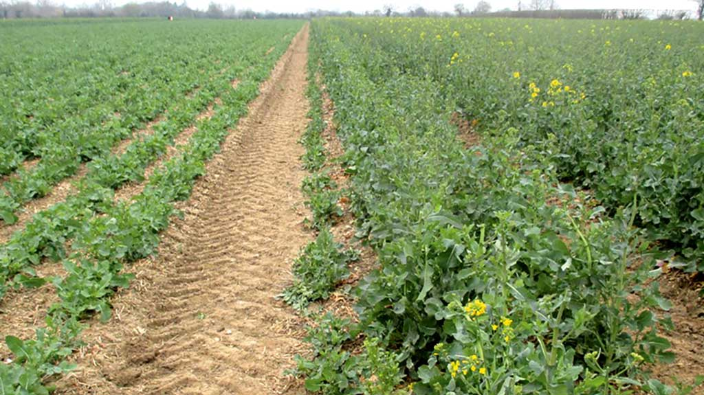 Chris Eglington's grazed OSR crop recovery at the beginning of April