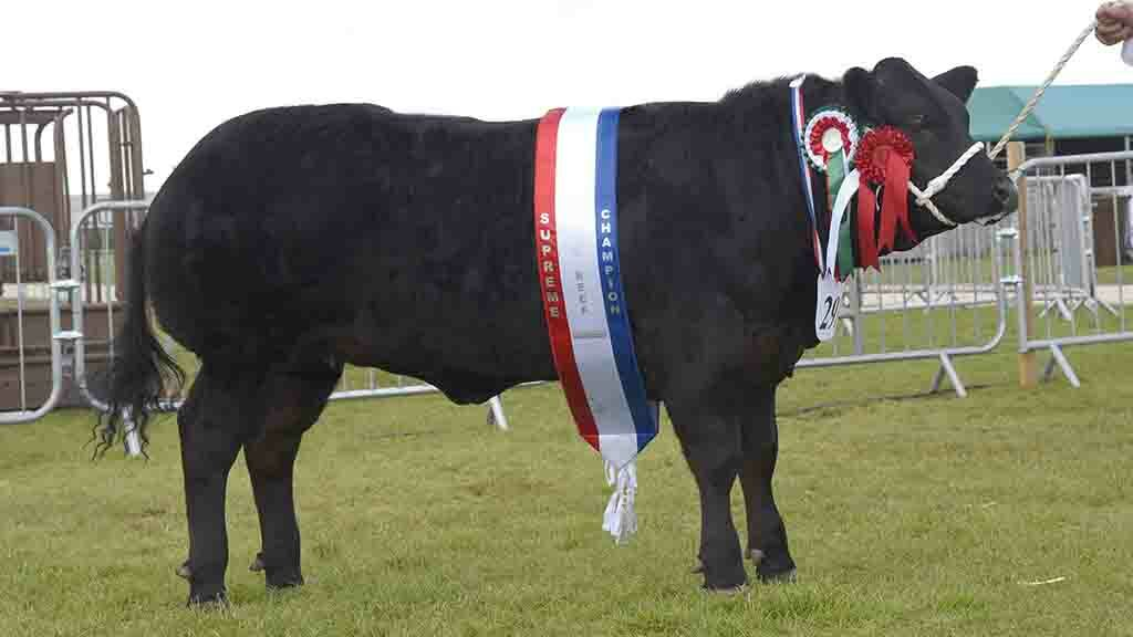 Commercial champion Ebony