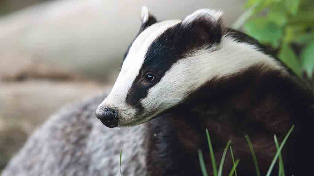 Badger culling is reducing TB outbreaks in cattle, study finds