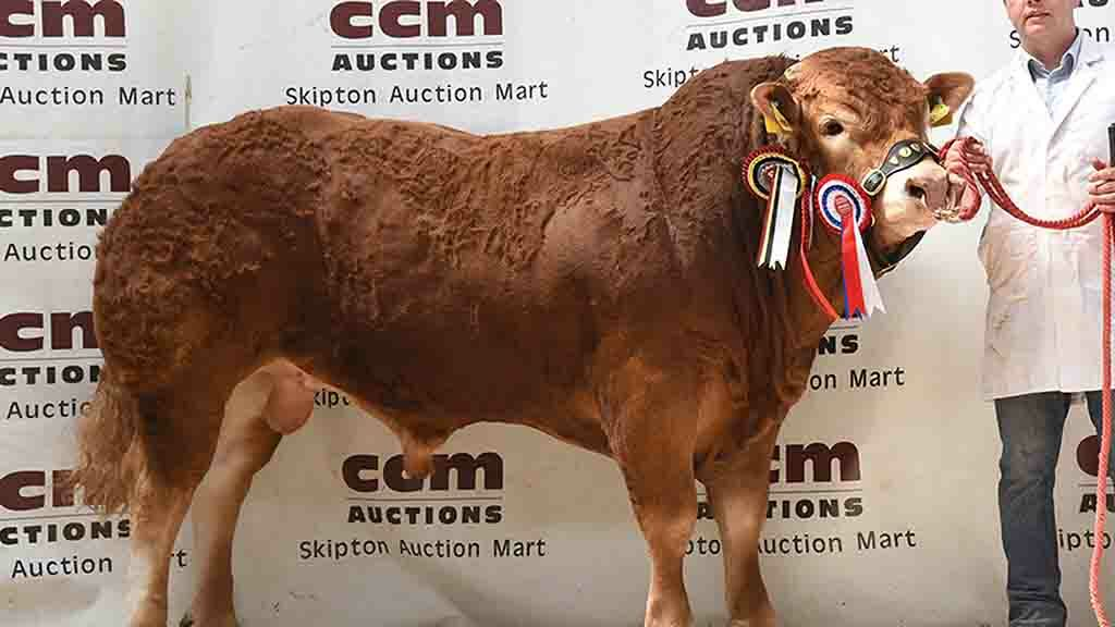 The supreme champion, Proctors Nitro from Proctors Farm, Slaidburn.