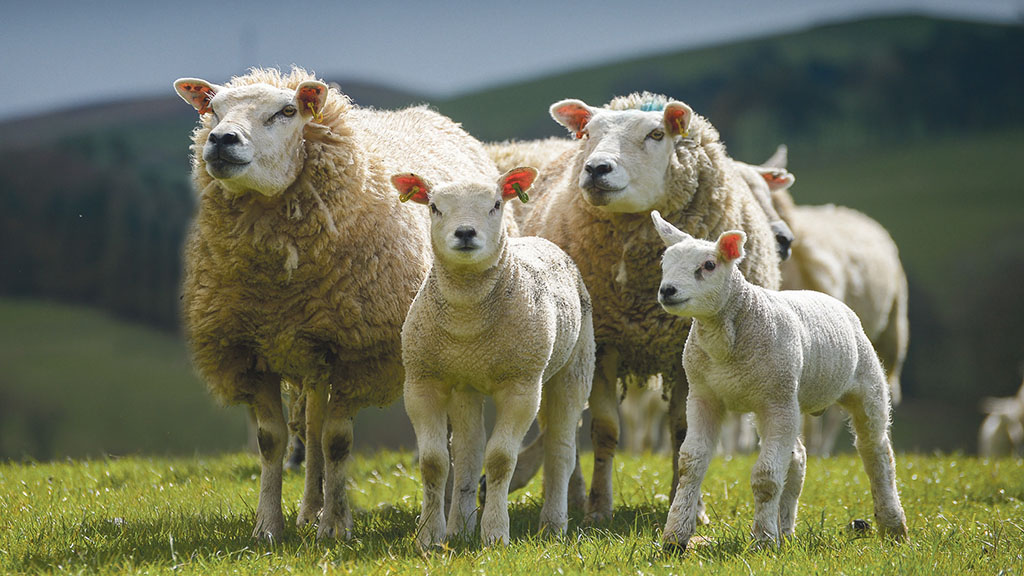 Wet UK weather causes spike in risk of worm issues in lambs