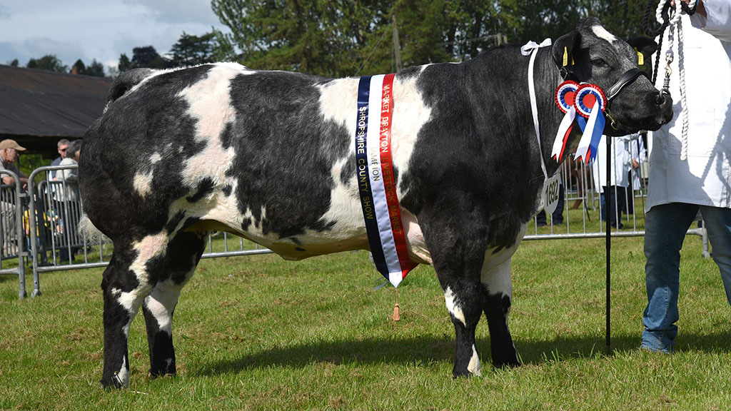 Continental champion, the British Blue, Hawthorn Blues Midnight Melody from S. Hughes, Newtown.