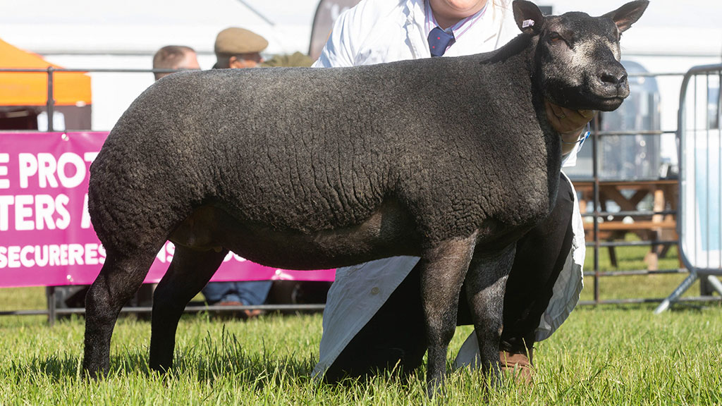 Whatmore Candy Floss sheep inter-breed champion