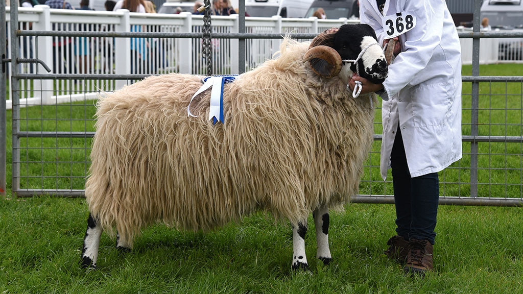 Reserve sheep inter-breed - Rough Fell tup from Thomas Moore, Fradswell, Stafford