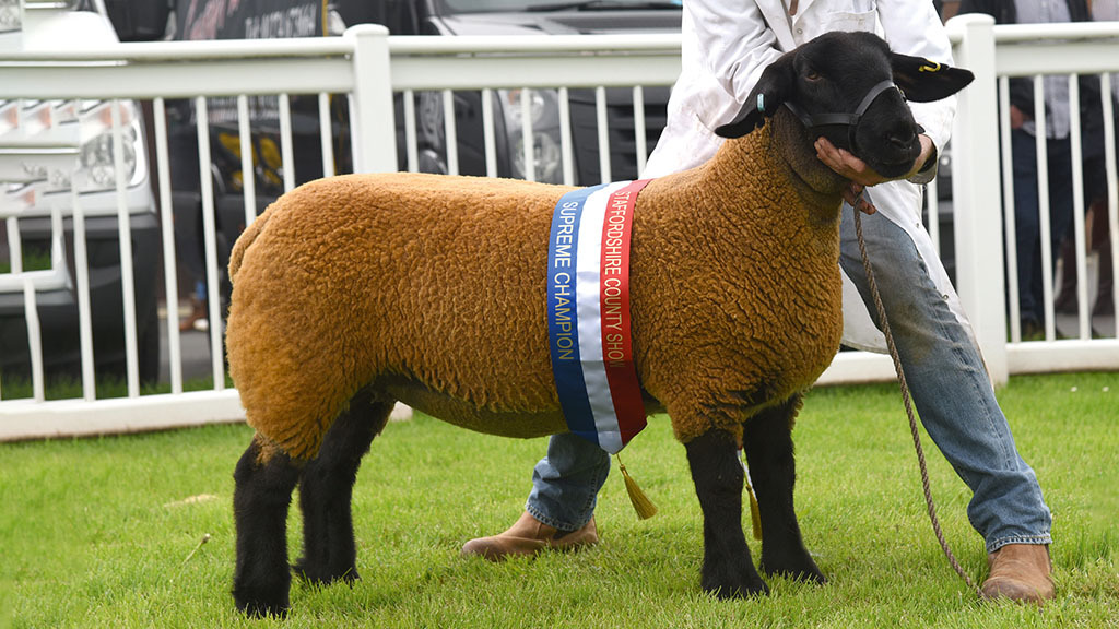 Suffolk ewe wins at Staffordshire County show