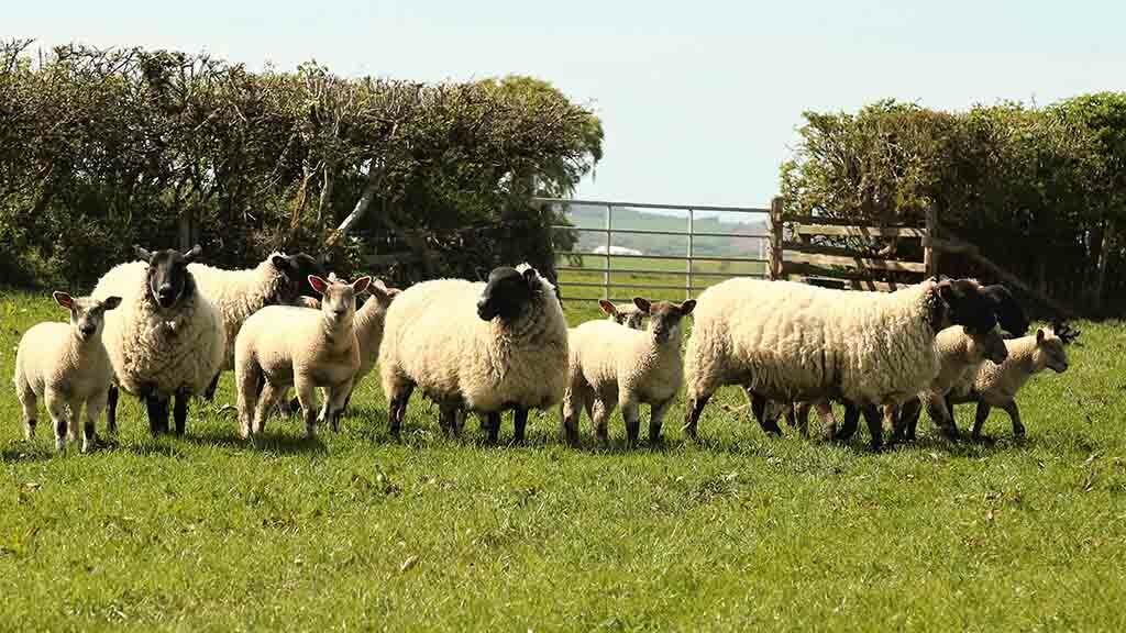 'The price of sheepmeat in other countries has never been better, so why should British producers suffer?'