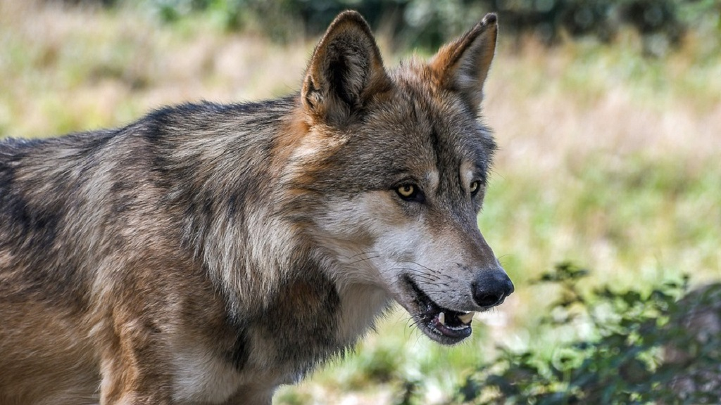 Wolves can help stop spread of tuberculosis in livestock, claim researchers