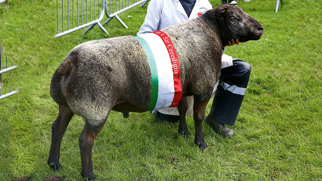 Blue Texel shines at Aberystwyth and Ceredigion