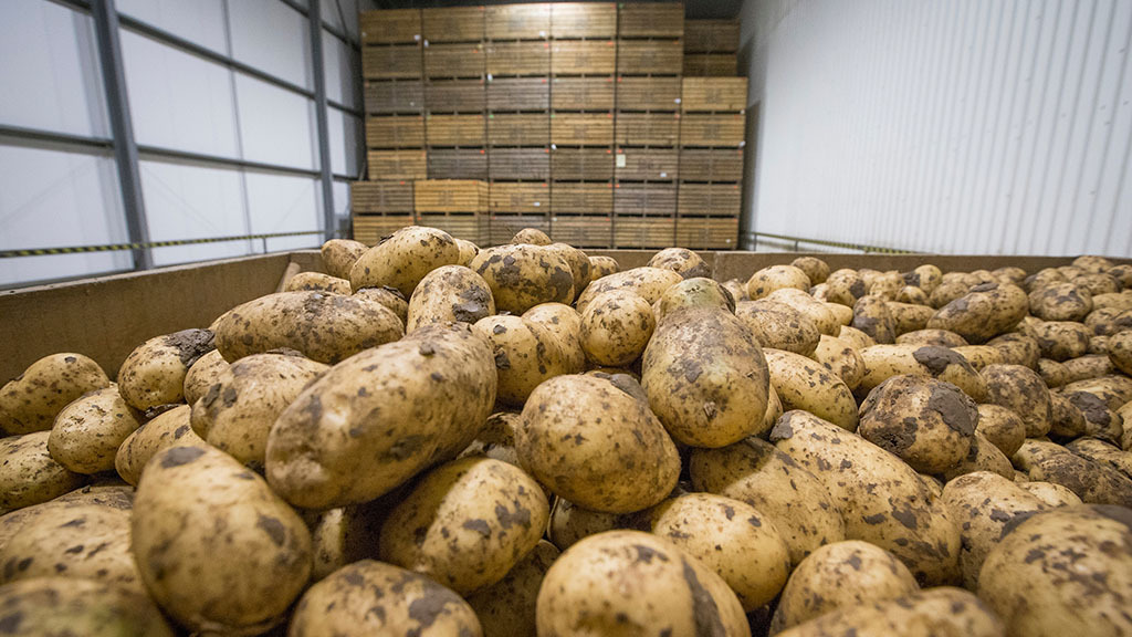 Potato storage strategies without CIPC