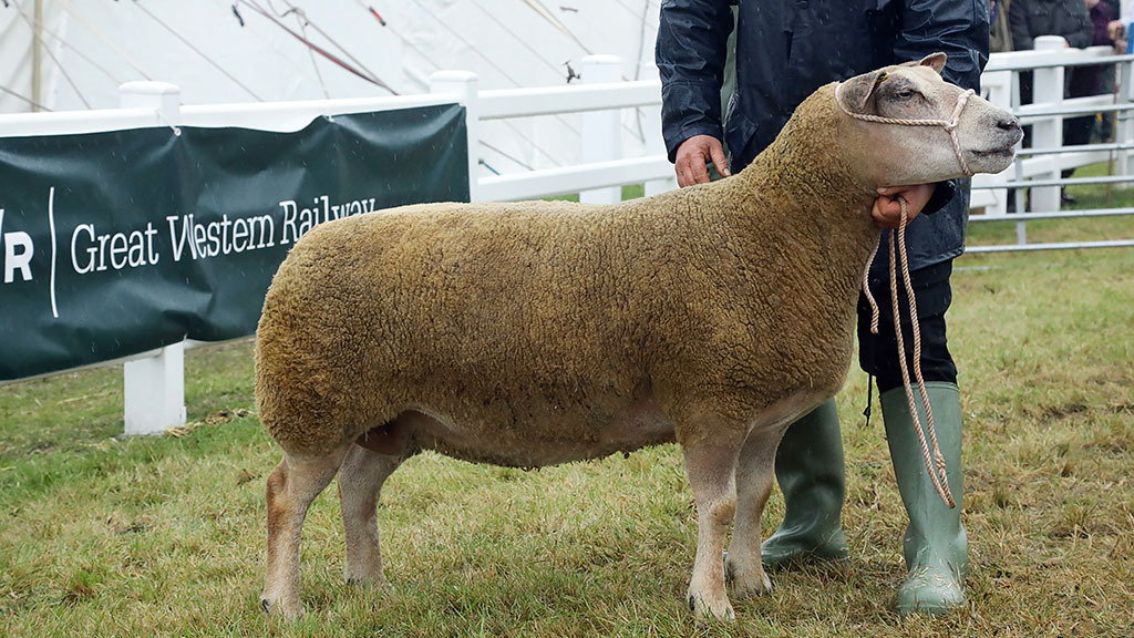 Inter-breed sheep and Charollais champion, a four-year-old ewe.