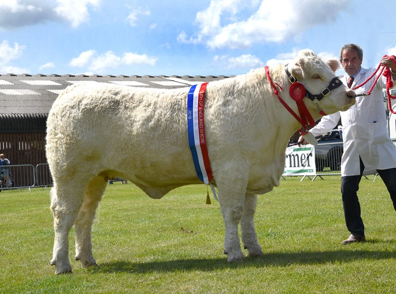 Charolais heifer heads South of England beef line up