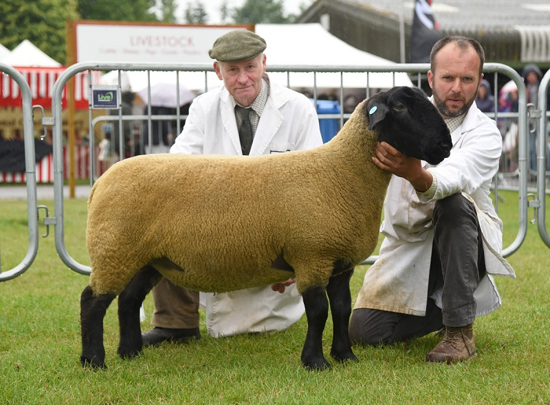 Suffolk shearling ewe from Allan King
