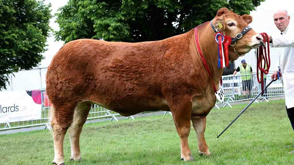 Reserve inter-breed beef and Limousin champion, Dinmore Madonna, from Paul Dawes.