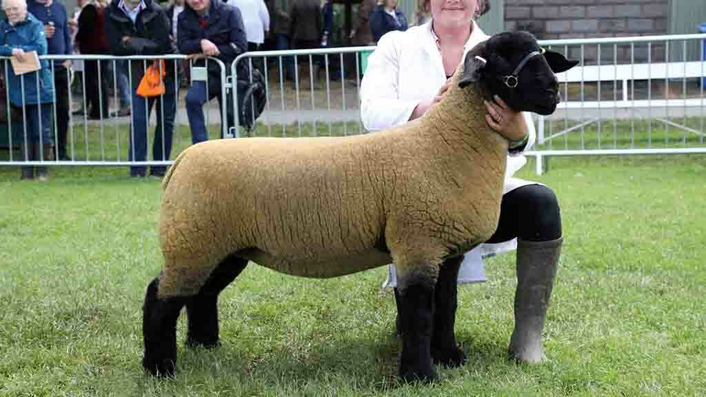 Inter-breed sheep and Suffolk champion, a home-bred shearling ewe from T. and A. Mogford.