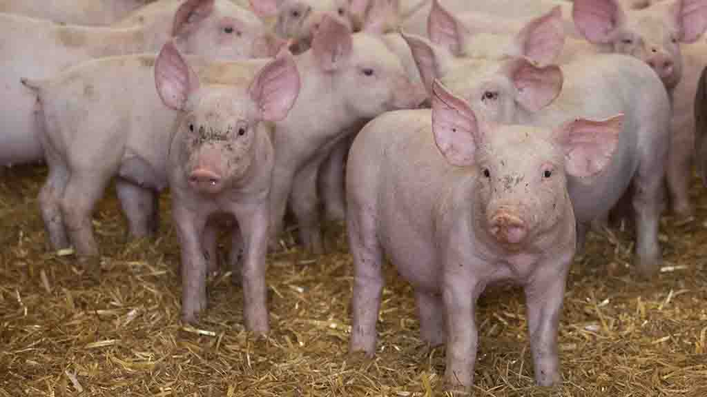 Cereals 2019: Arable farmers look to pigs and poultry