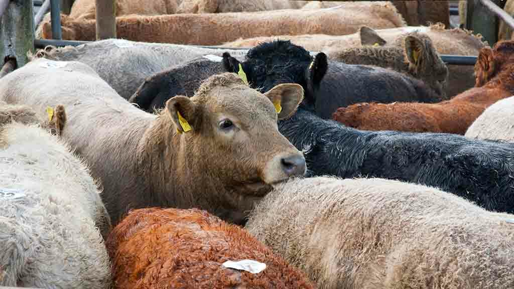 Farming groups urge processors to back British farmers as beef prices plummet