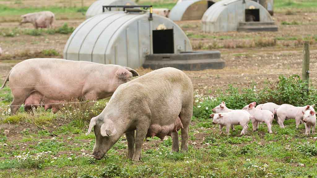 Increased biosecurity needed: Leptospirosis, pig fertility and how it spreads on-farm