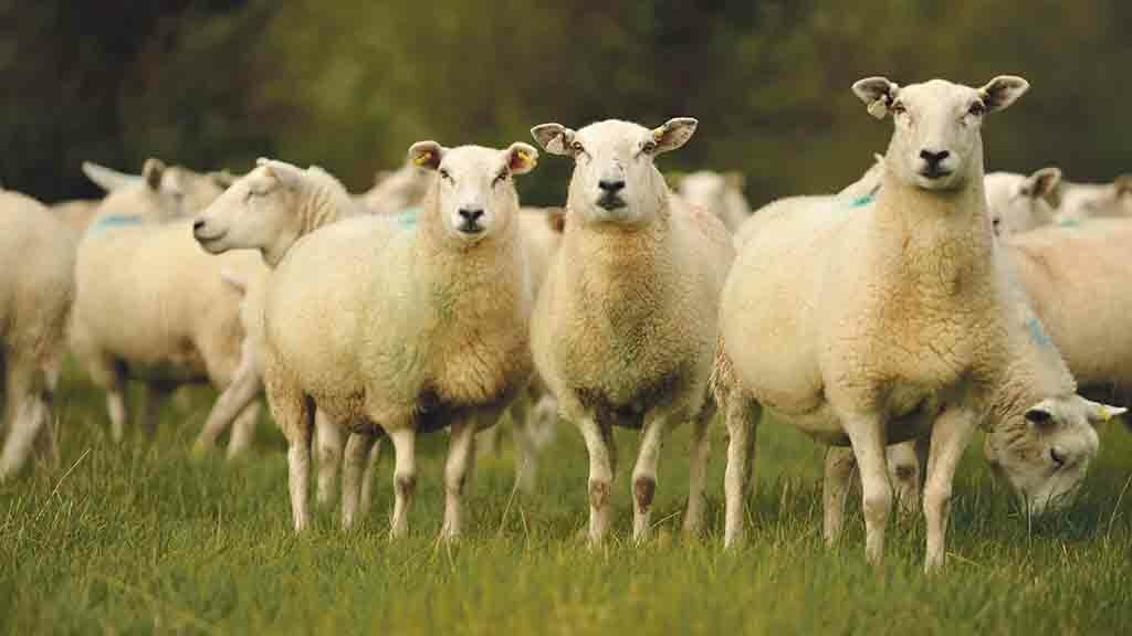 Sheep abortion: Preventing unnecessary lamb losses and inappropriate use of antibiotics